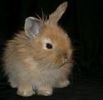 Виды декоративных кроликов