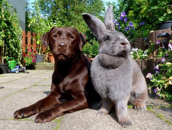 породы кроликов для разведения великан