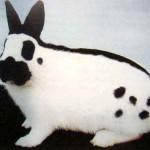 Карликовая порода кроликов - бабочка