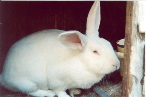 кролик белый великан в ракурсе