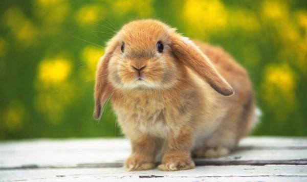 Сколько лет декоративные кролики проживают в домашних условиях, главный вопрос статьи