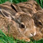 Фото: два кролика в траве