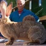 Фото большой кролик